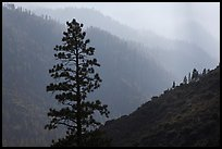 Silhouetted tree and canyon ridges. Kings Canyon National Park, California, USA. (color)