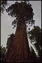 Sequoia and star trails, Grant Grove. Kings Canyon National Park, California, USA. (color)