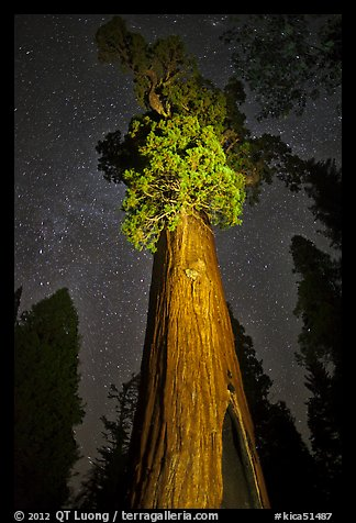 General Grant tree under starry skies. Kings Canyon National Park (color)