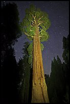 General Grant tree and night sky. Kings Canyon National Park, California, USA. (color)
