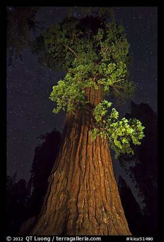 Giant Sequoia tree and night sky. Kings Canyon National Park (color)