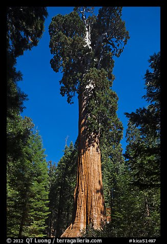 General Grant tree. Kings Canyon National Park (color)