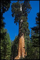 General Grant tree. Kings Canyon National Park, California, USA. (color)
