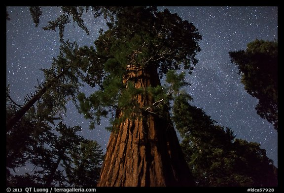 Giant Sequoia moonlit at night. Kings Canyon National Park (color)