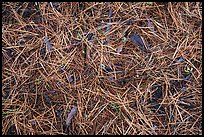 Close-up of fallen needles and chunks of wood. Kings Canyon National Park ( color)