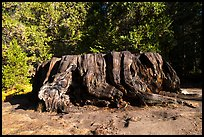 Mark Twain Stump, 90 feet cicumferance. Kings Canyon National Park ( color)