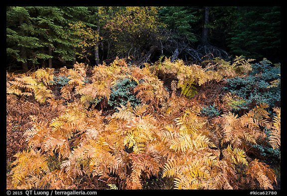 Ferns in autumn, Big Stump Basin. Kings Canyon National Park (color)