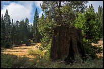 Meadow with sequoia stumps, Big Stump Basin. Kings Canyon National Park ( color)