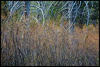 Dense shrubs and bare trunks. Lassen Volcanic National Park ( color)