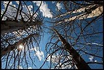 Looking up burned trees. Lassen Volcanic National Park ( color)