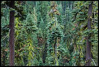 Conifer forest. Lassen Volcanic National Park ( color)
