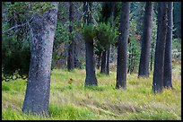 Pine tree trunks, Warner Valley. Lassen Volcanic National Park ( color)