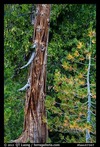 Weathered incense cedar trunk. Lassen Volcanic National Park (color)