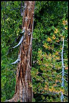 Weathered incense cedar trunk. Lassen Volcanic National Park ( color)