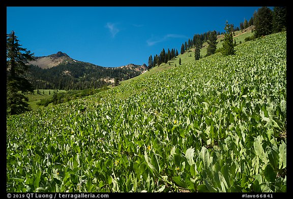 Hillside covered with arrow leaf balsam roots. Lassen Volcanic National Park (color)