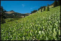 Hillside covered with arrow leaf balsam roots. Lassen Volcanic National Park ( color)