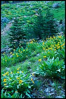 Arrow leaf balsam root flowers and fir in meadow. Lassen Volcanic National Park ( color)