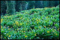Meadow with arrowleaf balsam root in bloom. Lassen Volcanic National Park ( color)