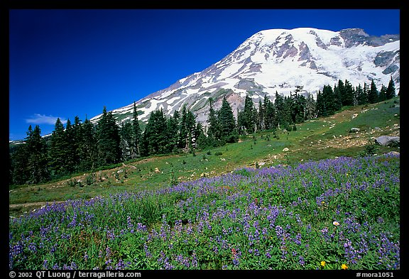 Flowers at Paradise and Mt Rainier, morning. Mount Rainier National Park (color)
