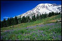 Flowers at Paradise and Mt Rainier, morning. Mount Rainier National Park, Washington, USA. (color)