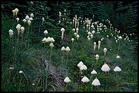 Conical beargrass flowers in forest meadow. Mount Rainier National Park, Washington, USA. (color)