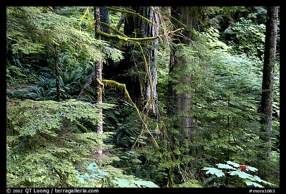Foliage, Carbon rainforest. Mount Rainier National Park (color)