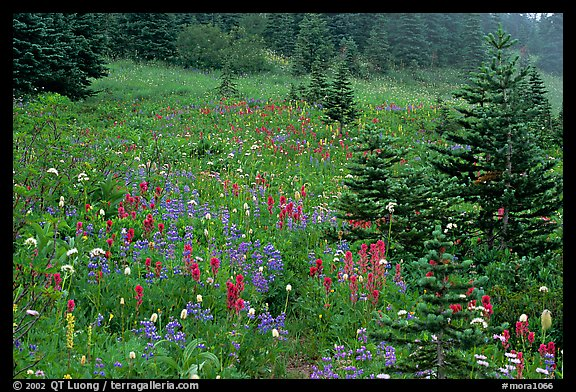 Wildflowers and trees at Paradise. Mount Rainier National Park (color)