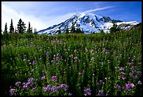 Dense carpet of wildflowers and Mt Rainier from Paradise, late afternoon. Mount Rainier National Park, Washington, USA. (color)