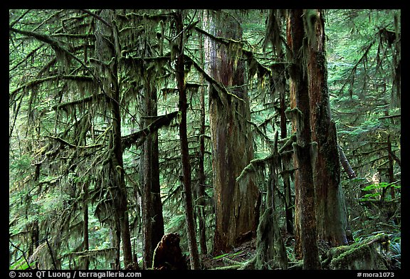 Carbon rainforest. Mount Rainier National Park (color)