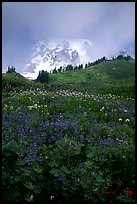 Lupine and Mt Rainier shrouded in fog from Paradise. Mount Rainier National Park ( color)