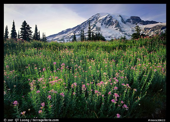 Field of pink flowers and Mount Rainier, late afternoon. Mount Rainier National Park (color)