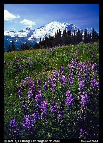 Lupines and Mt Rainier from Sunrise, morning. Mount Rainier National Park (color)