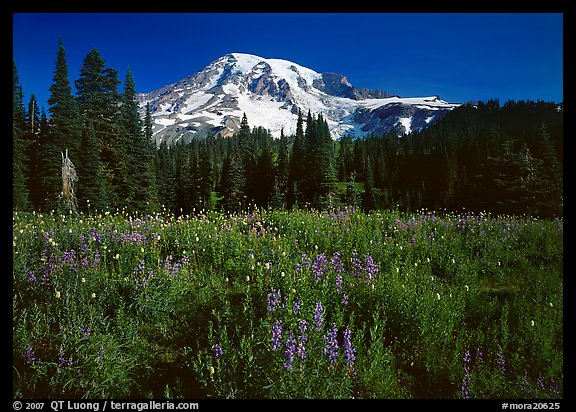 Lupine, conifers, and Mt Rainier, Paradise. Mount Rainier National Park (color)