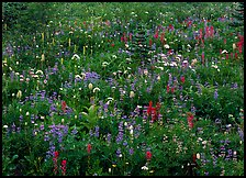 Meadow detail with multicolored wildflower carpet, Paradise. Mount Rainier National Park, Washington, USA.