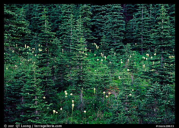 Beargrass and conifer forest. Mount Rainier National Park (color)