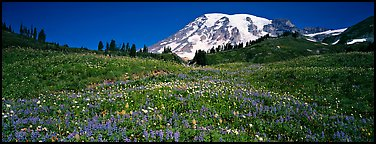 Wildflower meadow and snow-capped mountain. Mount Rainier National Park (Panoramic color)