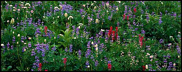 Close-up of flowers in meadow. Mount Rainier National Park (Panoramic color)