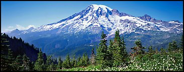 Avalanche lillies and Mount Rainier. Mount Rainier National Park (Panoramic color)
