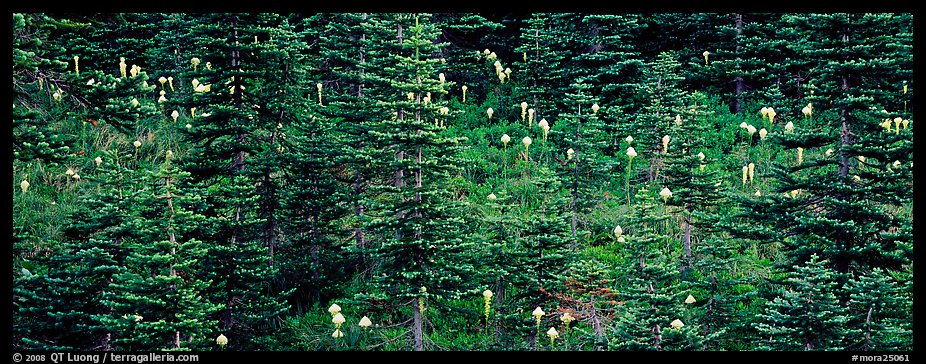 Bear grass and connifers. Mount Rainier National Park (color)