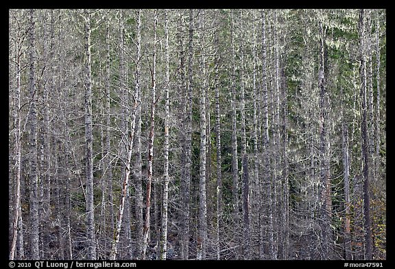 Bare trees and hanging lichen. Mount Rainier National Park (color)