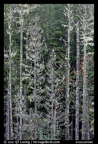 Pine trees and lichens. Mount Rainier National Park (color)