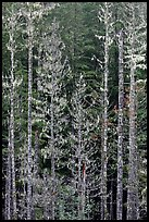 Pine trees and lichens. Mount Rainier National Park ( color)