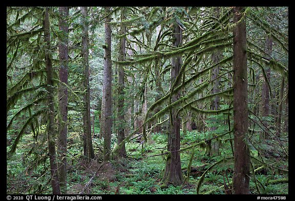 Trees with moss-covered branches. Mount Rainier National Park (color)