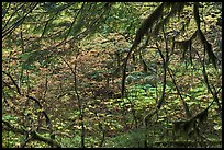 Autumn foliage in rainforest. Mount Rainier National Park ( color)