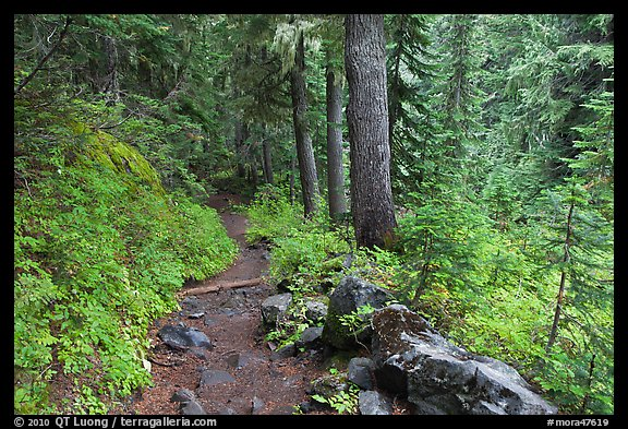 Trail and forest , Van Trump creek. Mount Rainier National Park, Washington, USA.