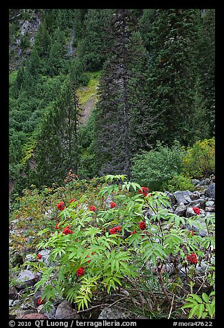 Shrub with berries and conifer forest. Mount Rainier National Park (color)