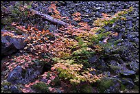 Shrubs in autumn color growing on talus slope. Mount Rainier National Park ( color)
