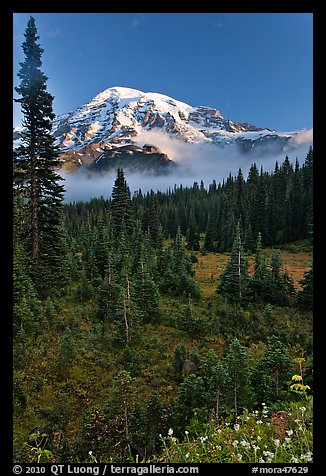 Conifer forest, meadows, and Mt Rainier viewed from below Paradise. Mount Rainier National Park (color)