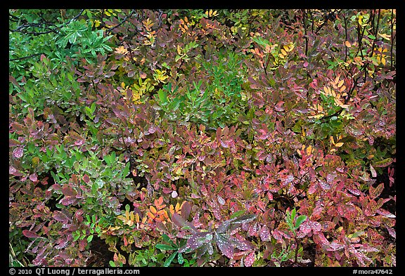 Close-up of multicolored berry leaves. Mount Rainier National Park (color)