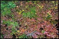 Close-up of multicolored berry leaves. Mount Rainier National Park, Washington, USA. (color)